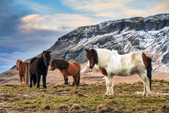 Herd of Icelandic horses Stock Images