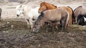 Herd of Icelandic horses in winter ourdoor meadow Stock Images