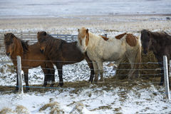 Herd of Icelandic horses in wintertime Royalty Free Stock Images