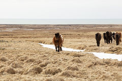 Herd of Icelandic ponies Stock Photography