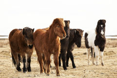 Herd of Icelandic ponies Royalty Free Stock Images
