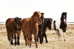 Herd of Icelandic ponies Royalty Free Stock Images