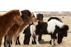 Herd of Icelandic ponies Stock Image
