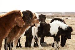 Herd of Icelandic ponies Stock Image