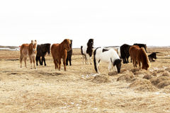 Herd of Icelandic ponies Royalty Free Stock Photography