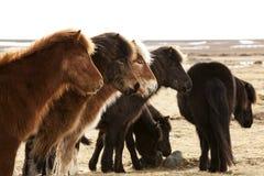 Herd of Icelandic ponies Stock Photos