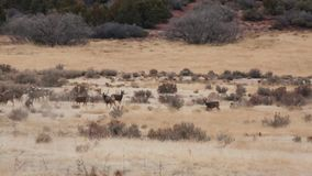 A herd if mule deer feed in a field while a big buck chases off a rival