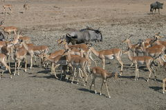 Herd of Impala royalty free stock photos
