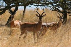 Herd of Impala Stock Image