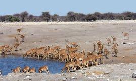 Herd of impala. Drinking - Etosha National Park Royalty Free Stock Image