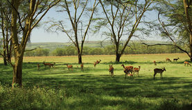 Herd of impala Stock Photography
