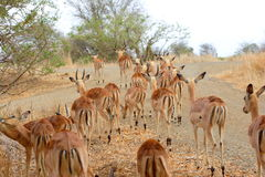 Herd of Impala royalty free stock image