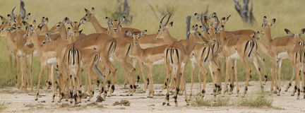 Herd of Impala Stock Image