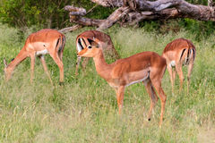 Herd of impala Aepyceros melampus standing in high grasses, Kruger National Park, South Africa Stock Image