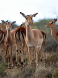 A herd of impala antelope from South Africa Royalty Free Stock Image