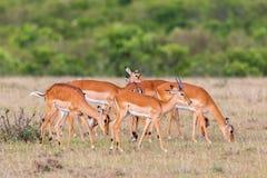 Herd of  Impala antelopes Stock Photo