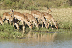 Herd of Impala drinking, South Africa. A herd of Impala (Aepyceros melampus) drinks from a natural pan in Kruger Park, South Africa Royalty Free Stock Image