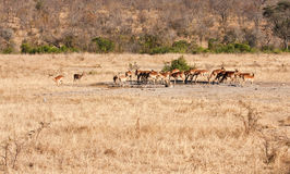 Herd of impala drinking water Stock Photo