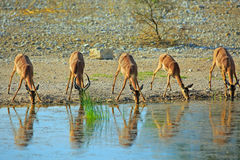 Herd of Impala drinking from a waterhole Stock Photo