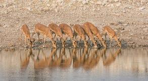 Impala Drinking. A herd of Impala drinking at a watering hole in Namibian savanna Royalty Free Stock Photo