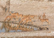 Impala Drinking. A herd of Impala drinking at a watering hole in Namibian savanna Royalty Free Stock Images