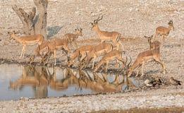 Impala Drinking. A herd of Impala drinking at a watering hole in Namibian savanna Stock Photos