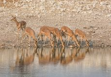 Impala Drinking. A herd of Impala drinking at a watering hole in Namibian savanna Royalty Free Stock Photography