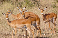 Herd of impala looking at camera Royalty Free Stock Photo