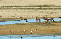 Herd of impala on a sandbank in the middle of the luangwa river Stock Images