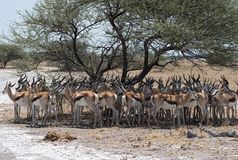 Herd of impala in the shade of a tree in Nxai Pan National Park. Botswana stock images