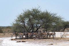 Herd of impala in the shade of a tree in Nxai Pan National Park. Botswana stock image
