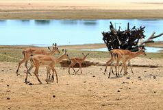Herd of impala standing on the shoreline of the luangwa riverbed Royalty Free Stock Image