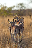 Herd of impala walking along road Royalty Free Stock Photo