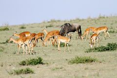 A herd on Impala and a wildebeest Royalty Free Stock Photos
