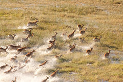 Herd of impalas royalty free stock photo