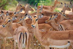 Herd of Impalas (Aepyceros melampus) Royalty Free Stock Photos