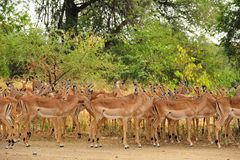Herd of Impalas (Aepyceros melampus) Stock Image