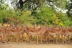 Herd of Impalas (Aepyceros melampus). An impala herd (Aepyceros melampus) resting under a tree (South Africa stock image