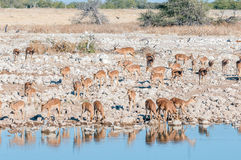 Herd of impalas Aepyceros melampus drinking water at a waterho Stock Images