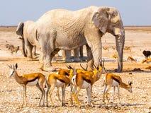 Herd of impalas and elephants at waterhole, Etosha National Park, Namibia, Africa Stock Photo