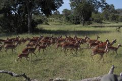 A herd of Impalas. Royalty Free Stock Photo