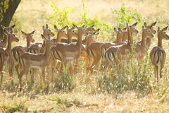 Herd of Impalas in morning light Stock Photo