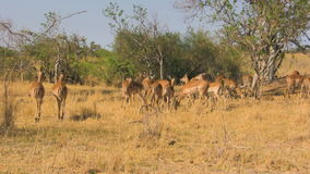 Herd of impalas in savanna stock video