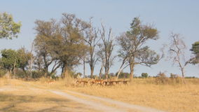 Herd of impalas in savanna stock footage