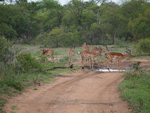 Herd of impalas in South Africa Stock Image