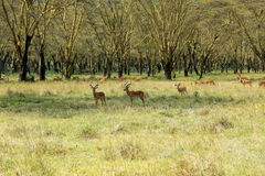 Herd of impalas Royalty Free Stock Images