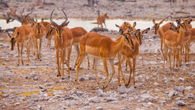 Herd of impalas at waterhole Stock Images