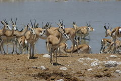 Herd of impalas. At a watering hole, Namibia, Africa Stock Photo