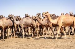 Herd of Indian Camels, Camelus dromedarius, Royalty Free Stock Photo