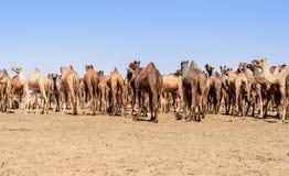 Herd of Indian Camels, Camelus dromedarius, Stock Photo
